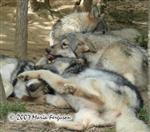 Wolf pup monkey pile picture Picture