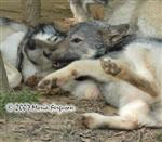 Wolf Pup cuddles picture Picture