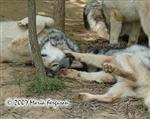 Time to play Wolf pup picture Picture