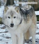 So big, wolf picture Picture