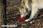 Wolf with Santa toy Picture