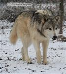 Wolf pictures, stalking Picture