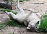 Wolf pictures, scent rolling Picture