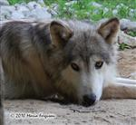 Wolf pictures, he's so cute Picture