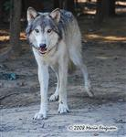 Wolf pictures, Niko Akni July 2008 Picture