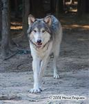 Wolf pictures, big paws Picture