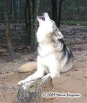 Wolf pictures, big boy howl Picture