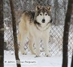 Wolf Pictures, Niko Akni snow day I Picture