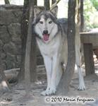 wolf pictures, big boy in summer Picture