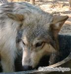 Big Face Wolf Pup picture Picture