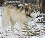 Wolf photo, gentle giant Picture
