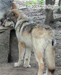 Male Wolf Pup 4 months old Picture