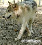 Niko Akni wolf pup picture Picture