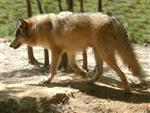 Amazingly big Wolf pup picture Picture