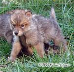 Male Wolf Pup being dominant picture Picture