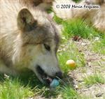 Yearling Wolf pup with Easter Egg picture Picture