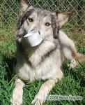 Wolf pictures, Frosty Paws IV Picture