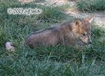 Male Wolf pup in grass picture Picture