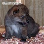 Wolf pup in nursery picture Picture