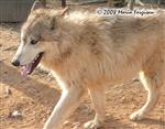Young Male Wolf picture Picture