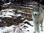 Snow Wolf picture II Picture
