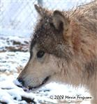 Yearling Male Wolf picture Picture