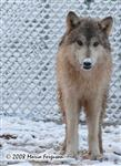 Timber Wolf with snow nose photo Picture