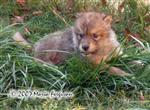 Male Wolf Pup chillin in yard picture Picture