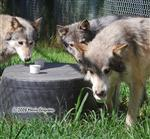 Wolf pictures, Frosty Paws VII Picture