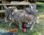 Wolf Pup defending his Kong photo Picture