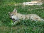 Wolf pup with bone picture Picture