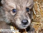 Wolf Pup up close and personal picture Picture