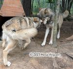 Wolf pup kisses Wolf Mama picture Picture
