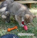 Wolf pup and Kong picture Picture