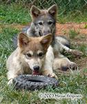 Wolf pups photo, 12 weeks Picture