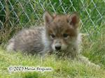 Darling Wolf Pup face picture Picture