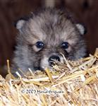 Wolf Pup in straw picture Picture