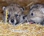 Wolf Pups in the staw picture Picture