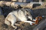 Wolf pictures, guarding Picture
