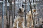 Wolf pictures, Nita howling Picture