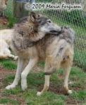 Wolf pictures, grooming Picture