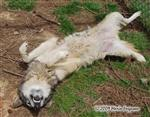 Wolf pictures, rubbing Picture