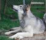 Wolf pictures, watch the birdie Picture