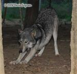 Wolf pictures, stretch Picture