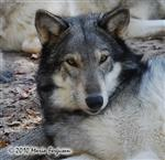 wolf pictures, cute girl Picture