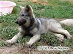 Female Wolf pup 12 weeks old picture Picture
