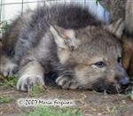 Wolf pup getting sleepy picture Picture