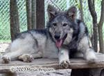 Dark beauty, Wolf pup picture Picture