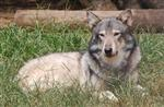 wolf pictures, lovely nita Picture