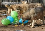 Wolf pup drags balloons Picture